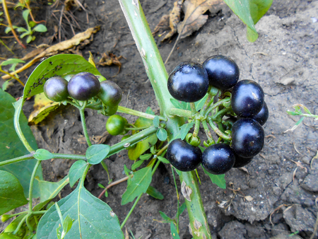 belladonna: Black berries are thickened on a branch in the garden