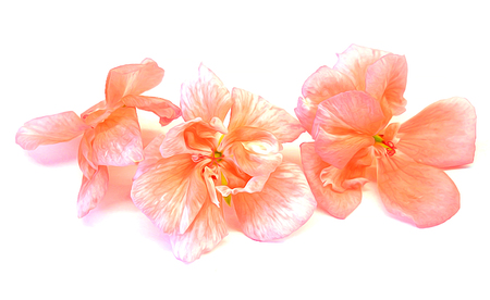 oil draw geranium perspective, paint fresh delicate flowers and petals of pelargonium, isolated on white background scrapbook Stock Photo