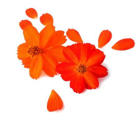 flew: Light tender air petals flew around purslane delicate red flowersl on white background, photo manipulation