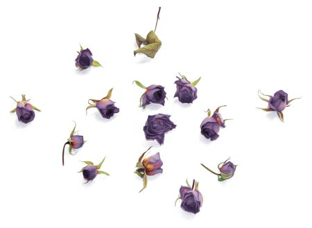 rose: oil draw  old purple rose, dry fall fowers isolated element  paint object  set