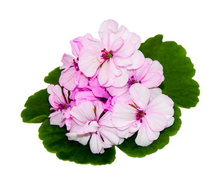 geranium color: Pink flowers of a geranium with green leaves on white background