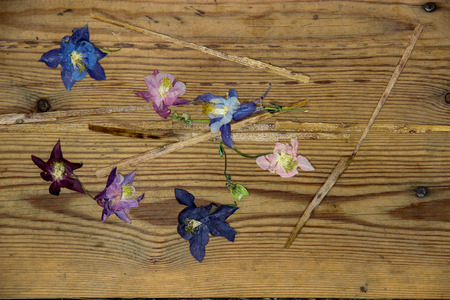 wilting: floral composition with dried wilted Aquilegia flowers on old dark wooden table background