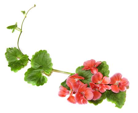 Zusammensetzung der frischen grünen Blätter der Bodenbedeckung und hellen rosa Blüten von Geranie isoliert auf weiß