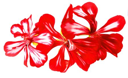 Red striped geranium flowers fresh, photo manipulation Stock Photo