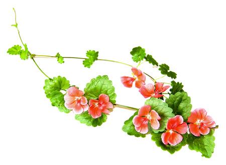 Frische grüne Blätter und leuchtend rosa Blüten von Geranien isoliert auf weißem Hintergrund