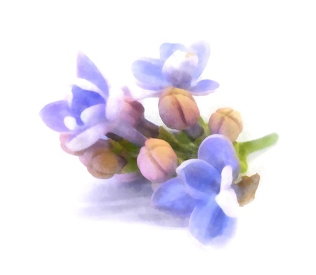 blue lilac oil draw perspective, paint fresh delicate flowers and petals, isolated on white background Stock fotó - 84577161