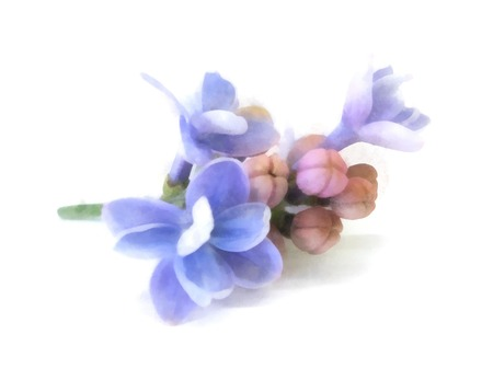 blue lilac oil draw perspective, paint fresh delicate flowers and petals, isolated on white background Stock fotó - 84578062