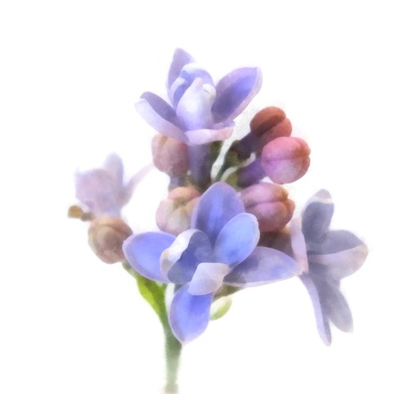 blue lilac oil draw perspective, paint fresh delicate flowers and petals, isolated on white background Stock fotó - 84577170
