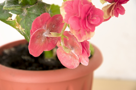 tender fresh pink begonia  terry flowers and petals  bush in a tub,  pronounced on leaves fungal disease of the powdery mildew Stock Photo