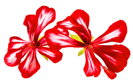 Oil draw illustration of red striped geranium flowers fresh, photo manipulation