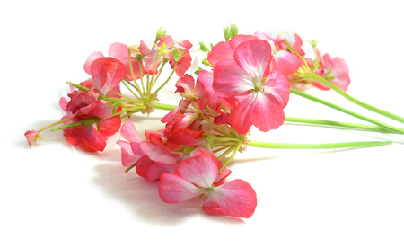 cranesbill: Geranium flowers in the shape of roses fresh on the green leaf