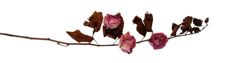 Dry delicate rose flowers and leaves  isolated on white, digital painting