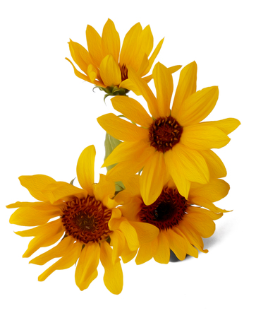 Sunflower flower in small ceramic vase isolated on white digital painting Stock Photo