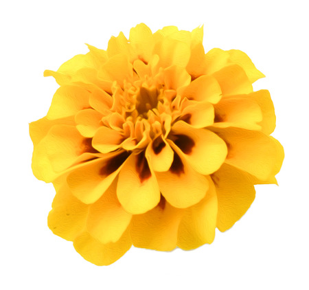 Marigold flower isolated lies on white digital painting