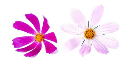 Illustration of small bouquet of multicolored kosmeya fresh delicate pink flower. photo manipulation.