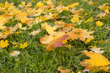 to drown: autumn park, on the maple leaves of fallen on green grass lies hoarfrost. The dawn, the suns rays, are drowning the snow. Last warm days.