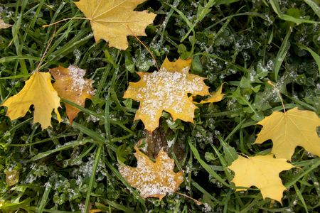 autumn park, on the maple leaves of fallen on green grass lies hoarfrost. The dawn, the suns rays, are drowning the snow. Last warm days.