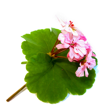 geranium flowers in the shape of roses fresh on the green leaf, photo manipulation, digital painting