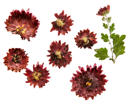 Oil draw illustration of set dry pressed scattered chrysanthemum claret flowers, isolated with shadow. Photo manipulation Stock Photo