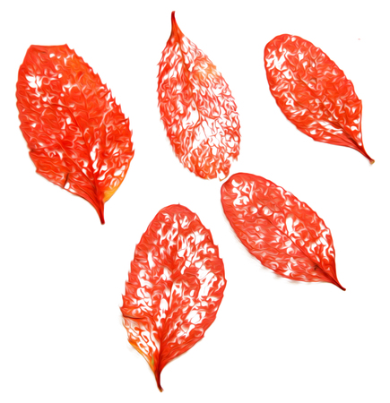Oil draw illustration of set dry pressed scattered skeletonized leaf of red barberry, maple, poplar branch tree, isolated with shadow. Photo manipulation