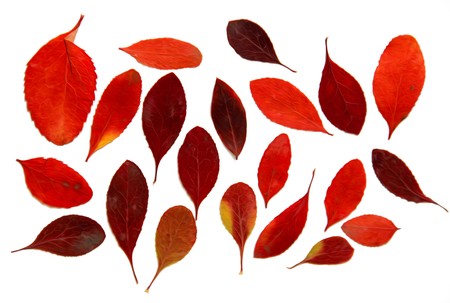 Oil draw illustration of set dry pressed scattered barberry leaves, isolated with shadow. Photo manipulation