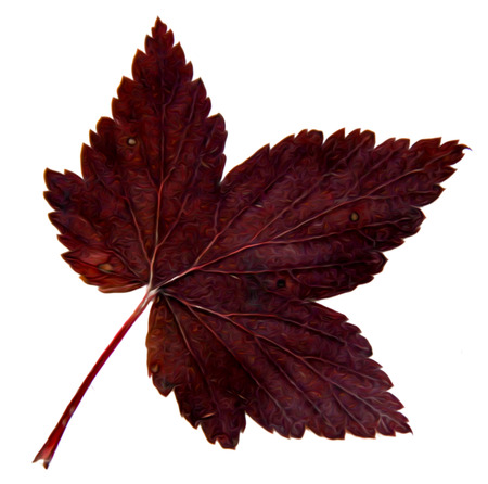 Oil draw illustration of set dry pressed scattered dark currant red  leaves, isolated with shadow. Photo manipulation Reklamní fotografie