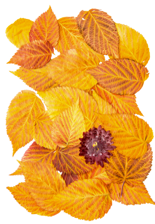 Oil draw illustration of set dry pressed scattered raspberries leaves, chrysanthemum claret flowers, isolated with shadow. Photo manipulation Stock Photo