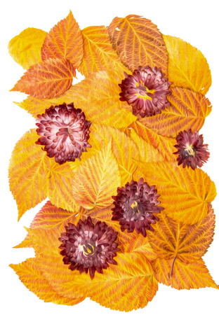 Oil draw illustration of set dry pressed scattered raspberries leaves, chrysanthemum claret flowers, isolated with shadow. Photo manipulation Reklamní fotografie