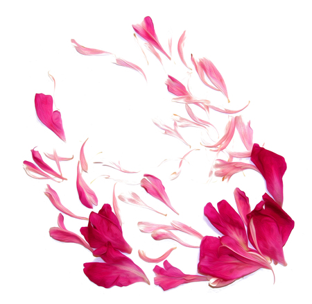 oil draw perspective peony petals isolated on white Stock Photo