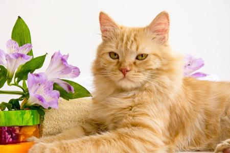 red cat in bathroom accessories, near  handmade soap, luff,  alstroemeria flower Stock Photo