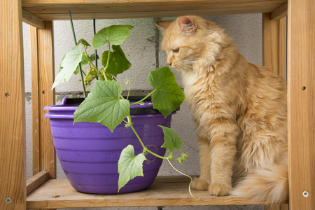 red cat examines cucumber shoots
