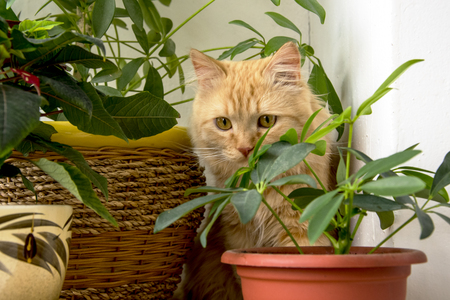 Beautiful ginger cat hiding in the flowers pots Stock Photo