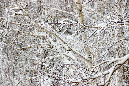 Frozen branches of trees  covered with snow.