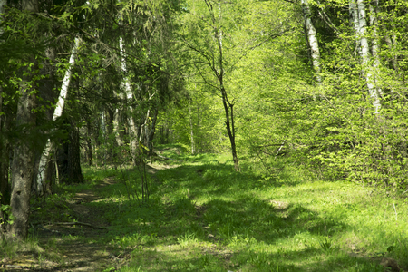 spring panorama of a scenic forest of trees with fresh green leaves and the sun casting its rays of light through the foliage Imagens