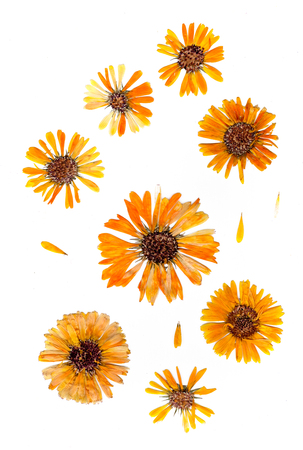 pressed delicate chrysanthemum flowers and petals isolated on white