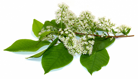 flowering branch of white cherry isolated Stock Photo