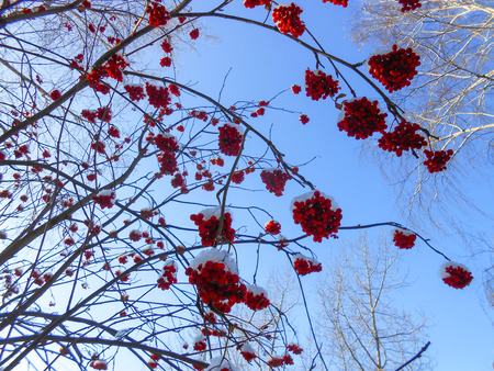 juicy ripe bunches of rowan berries hang on branches, sprinkled with snow against a clear blue sky. early winter.