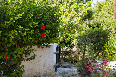 White fence and garden gate hidden among the greenery in the bushes of flowering hibiscus