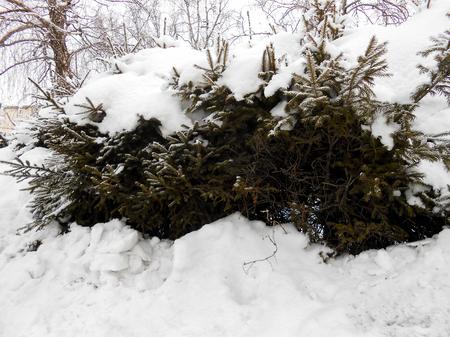 pine tree against snow field. Winter landscape 版權商用圖片