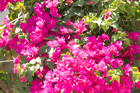 Bougainvillaea blooming bush with white and pink flowers, summer 版權商用圖片
