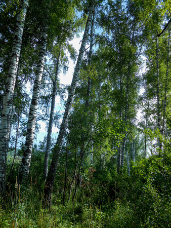 Beautiful spring birch grove foliage, fresh leaves in morning light 版權商用圖片