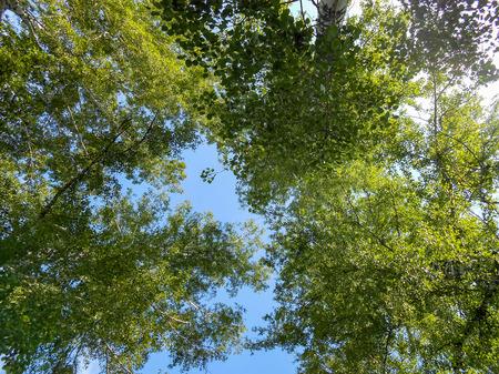 Beautiful spring birch grove foliage, fresh leaves in morning light Stok Fotoğraf