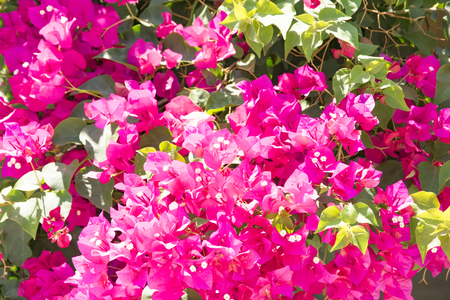 Bougainvillaea blooming bush with white and pink flowers, summer Stok Fotoğraf