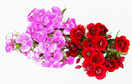 a small bouquet of fine Burgundy spray carnations isolated on white