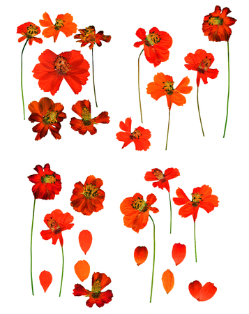 Dried pressed kosmeya, Cosmos delicate flowers and petals isolated on white