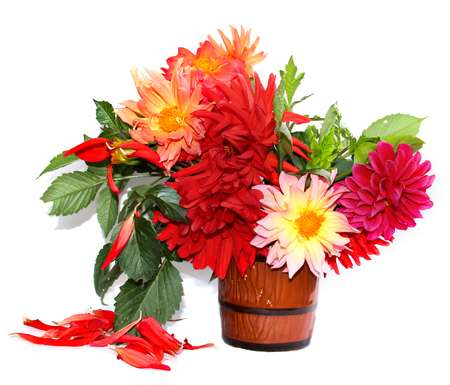 colorful yellow, red needle dahlias in a ceramic mug, scattered petals isolated on white Stok Fotoğraf