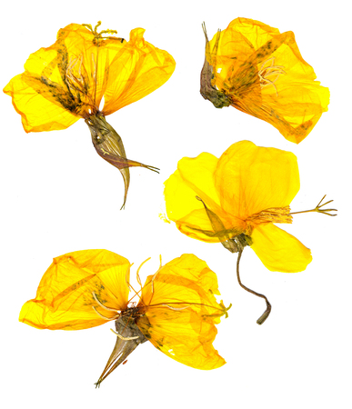 Eschscholzia californica cup of gold dry flowers in bloom, orange pressed petals. Flat yellow nasturtium macro curved shape isolated on white background, top view