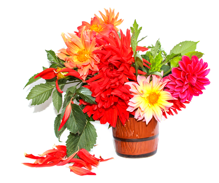 colorful yellow, red needle dahlias in a ceramic mug, scattered petals isolated on white 版權商用圖片