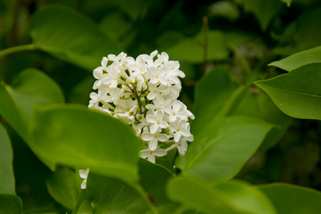 branch  large flowers white lilac among green leaves 版權商用圖片