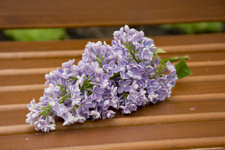 branch of large Purple flowers lilac  a wooden bench